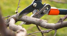 How to prune trees and shrubs to make them stronger and more balanced. Includes advice on what tools to use and the best techniques for smart pruning. Pruning Fruit Trees, Tree Pruning, Landscaping Calgary, Landscaping Plants, Importance Of Trees, Tree Removal Service, Apricot Tree, Tree Surgeons, Landscape Services