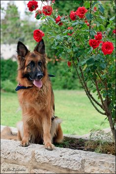 Awww, pretty red and black German Shepherd