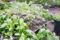 Cum calim rasaduri inainte de a le muta in gradina Seedlings, Plants, Garden