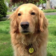 Golden retriever  therapy dog...marley had one of those tags#Repin By:Pinterest++ for iPad#