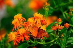 MEXICAN FLAME VINE Raised Garden Beds, Raised Beds, Butterfly Plants, Butterflies, Garden Bed Layout, Hummingbird Plants, Drought Tolerant Garden, Fall Vegetables, Planting Plan