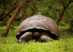 Tortoise hatchlings spotted on the island of Pinzón last year are the first to have survived there in more than a century. Thanks to conservation efforts, tortoises are making a comeback.