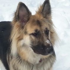 GSD snow nose, Ky