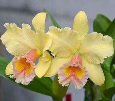 Religious Magic And Spiritual Ability Element One Cattleya Orchid Rare Flowers, Exotic Flowers, Tropical Flowers, Amazing Flowers, Beautiful Flowers, Yellow Orchid, Cattleya Orchid, Orchidaceae, Planting Flowers