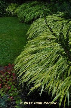 japanese forest grass   covet this: Japanese forest grass ( Hakonechloa ). It probably grows ...