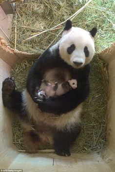 Heart-warming pictures of a panda cradling her twins have ended a month of speculation at an Austrian zoo confirming one of them is a girl