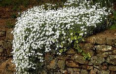 Snow in Summer Cerastium tomentosum 1000 seeds by SmartSeeds