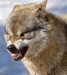 A wolf doing wolf things Wolf Images, Wolf Photos, Wolf Pictures, Snarling Wolf, Wolf World, Angry Wolf, Angry Animals, Wolf Husky, Wolf Stuff
