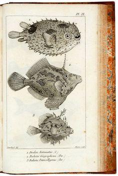 CUVIER, G. Le Règne Animal distribué d'après son organisation, pour servir de base à l'histoire naturelle des animaux et d'introduction à l'anatomie comparée. Paris, Deterville, 1817. 4 volumes. 8vo (203 x 130mm). pp. xxxvii, 540; pp. xviii, 532; pp. xxix, 653; pp. viii, 255, with 15 engraved plates. Cont... EUR 1,950.00 Vintage Illustration Art, Nature Illustration, Botanical Illustration, Illustrations, Graphic Illustration, Sea Drawing, Nature Drawing, Underwater Art, Fish Tales