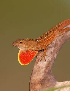A male brown anole lizard (Anolis sagrei) displays its eye-catching dewlap.