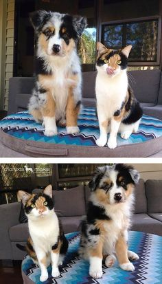 Cute Funny Animals, Cute Baby Animals, Animals And Pets, Cute Cats, Funniest Animals, Animals Photos, Small Animals, Animal Pictures, Aussie Puppies