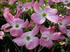 cornus florida rubra  http://www.missouribotanicalgarden.org/PlantFinder/PlantFinderDetails.aspx?kempercode=h650