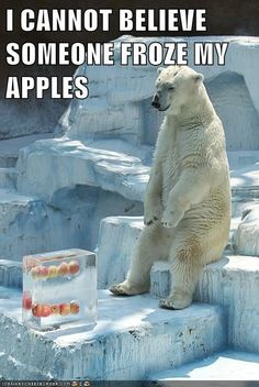 Someone Froze My Apples funny memes meme lol funny quotes apples humor polar bear funny animals Animal Captions, Funny Animal Memes, Cute Funny Animals, Funny Cute, Funny Memes, Top Funny, Funny Pics, Cat Memes, Funny Stuff