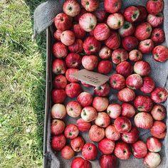 Fyldt op med spændende, vigtig og nyttig viden omkring bl.a. biodiversitet, økologi, jordbrug, tarmflora efter en hel dag på Svamholm Gods med @farmofideas 🌿 til Seed Exchange. Hjem er jeg kommet, med en fyldt mave af lækkerier fra @mirabelle_bakery, @hindsholmgrisen, @mikkelfriisholm, @baestcph og @rudocph 🙏🏼🙌🏻 . Tjek det ud - de er der også imorgen, hvis du finder ovenstående spændende 💚 #mirabelle#svanholmgods#seedexchange#økologi#æbler#rødeæbler#apple#apples#æblesæson#aebler Stevia, Squash, Broccoli, Mad, Pasta, Apple, Mushroom, Apple Fruit, Pumpkins