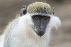 Monkey Penguins, Monkey, Wildlife, Animals, Jumpsuit, Animales, Animaux, Penguin, Monkeys