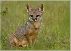 BENGAL FOX....aka the Indian fox...found on the Indian subcontinent in grasslands, wooded areas and semi-arid regions of India, Nepal and Pakistan....measure 18 to 20 inches with a 10 to 12 inch tail....weighs 6.6 to 8.8 pounds....known to use a wide range of vocalization and pitch tones to communicate