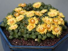 Aloinopsis schooneesii Living Stone is a tuberous rooted succulent with irregular rosettes of 8-10 roughly diamond shaped, dark green leaves, up to...