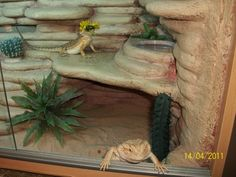 Multiple Bearded Dragons In A Habitat