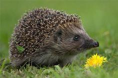 Hedgehog....this is strangely cute ha