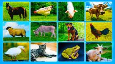 Learning Domestic Animals Names and Sounds Learn Domestic Animals Real Animals For Toddlers
