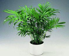 Хамедорея (неанта? Выбирая неприхотливую теневыносливую пальму для своего дома, присмотритесь к хамедорее. | Всё об интерьере для дома и квартиры