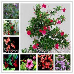 100 pcs Mandevilla Sanderi Graines en pot balcon, plantation saisons, Balcon Bonsaï Fleur Plante En Pot Maison Jardin Livraison Gratuite