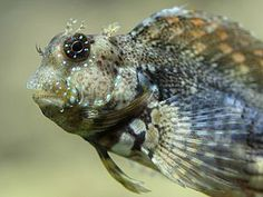 My Lawnmower blenny was my favorite. His name was Oscar and he had so much personality!