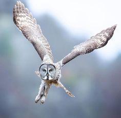 Animal Action, Great Grey Owl, Creature Drawings, Gray Owl, Birds Of Prey, Great Photos, Beautiful Birds, Norway, Safari