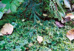 Фото 39. Печёночный мох Marshantia geteromorpha (Маршанция многообразная). Хорошо видны высокие женские подставки— выросты слоевища, на которых находятся женские половые органы. Подмосковье