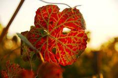 September & Harvest time at #HerdadeSãoMiguel Winery and Vineyards