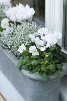 Winter bloembak: viooltjes en cyclamen