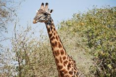 Their long necks, richly patterned coats, and stubby ossicones make Giraffes one of earth's most distinct animals. Learn more with these giraffe facts. Giraffe Facts, Giraffe Pictures, Coat Patterns, My Images, Habitats, Earth, Animals, Animales, Animaux