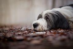 "the-love-of-dogs: "" (via Bearded collie ""Dyffi"" by Markéta Trojanová / 500px) """