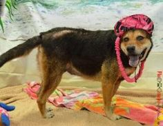 Billie Jean is an adoptable Shepherd Dog in Fort Lauderdale, FL. Billy was adopted in 2006 and was recently found at a local animal control. Apparently one or both of her owners has passed away and sh...