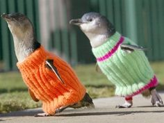 two penguins wearing sweaters