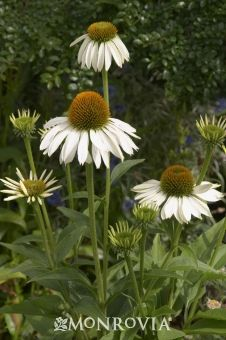 White Swan Coneflower Daisy-like flowers have a coppery cone center surrounded by drooping snow white petals. A magnet for butterflies. Fabulous native plant for wild gardens or prairie meadows. Equally good in traditional beds, borders and containers. Hardy perennial.