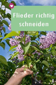 Wie Sie Ihren Flieder richtig schneiden und pflegen Everything for the care and cutting of lilac. Growing Plants, Container Gardening, Orchid Care, Horticulture, Plant Care, Garden Terrarium, Garden Pots, Herbs, Lilac