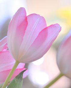 Ms._Pearl   Spring pink   pastel + pink yellow green blue + flower tulip bokeh