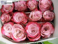 Sweet Berry Rose