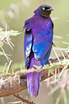 Rüppell's starling (Lamprotornis purpuroptera), also known as Rueppell's glossy-starling, is a species of starling in the Sturnidae family. It is found in Burundi, the Democratic Republic of the Congo, Eritrea, Ethiopia, Kenya, Rwanda, Somalia, South Sudan, Sudan, Tanzania, and Uganda. http://en.wikipedia.org/wiki/R%C3%BCppell%27s_starling