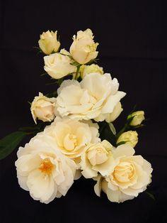 Prairie Snowdrift (Prairie Series Rose) sport of Morden Blush. Z3, 4', full pure white cup-shaped blooms.