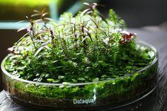 Wabi Kusa - by Schruz Ikebana, Indoor Water Garden, Indoor Plants, Water Gardens, Water Plants, Garden Plants, Bonsai, Moss Plant, Mini Terrarium