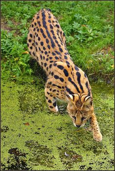 The Serval (Leptailurus serval) has long legs for running and jumping, big ears for hearing (even animals underground) and are camouflaged at nighttime.