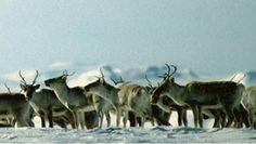 Reindeer, Hardangervidda, Norway. www.inatur.no/storviltjakt/53c57229e4b091786eb1b52d/reinsjakt-pa-hardangervidda | Inatur.no Hunting License, Reindeer, Norway, Moose Art, Adventure, Animals, Animales, Animaux, Animal