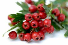 Hawthorn Berry has been treasured for centuries for its heart promoting and cardiovascular strengthening abilities. Hawthorn Berry is widely used to help benefit congestive heart disease, angina (chest pains), cardiac arrhythmia, myocarditis, insomnia, diarrhea, blood clots, hepatitis, arteriosclerosis, high cholesterol, and digestion