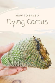 Cacti And Succulents, Cactus Plants, Garden Plants, Indoor Plants, Indoor Garden, Air Plants Care, Plant Care, Propagating Cactus, Grafted Cactus