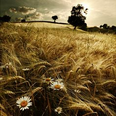 Summer wheat field - and look what's popping through the wheat....those beautiful daisies that I love :) !