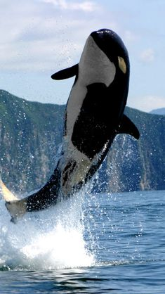 This is an orca,Orcas are mostly refer'd to Killer Whales. Theese are carnivores,so they might just want to eat your face. Orcas, Beautiful Creatures, Animals Beautiful, Water Animals, Delphine, Ocean Creatures, Tier Fotos, Mundo Animal, Killer Whales