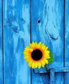 sunflower and blue barn wood