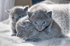 """Russian Blue""  adorable kittens"
